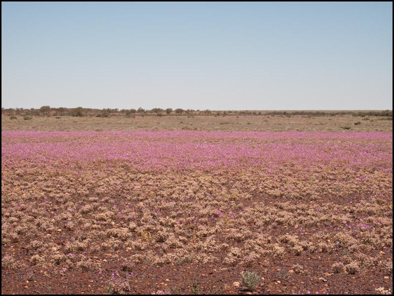 blooms-into-the-Perdika-Desert