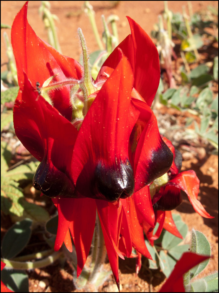 one-small-sturt-desert-pea-plant