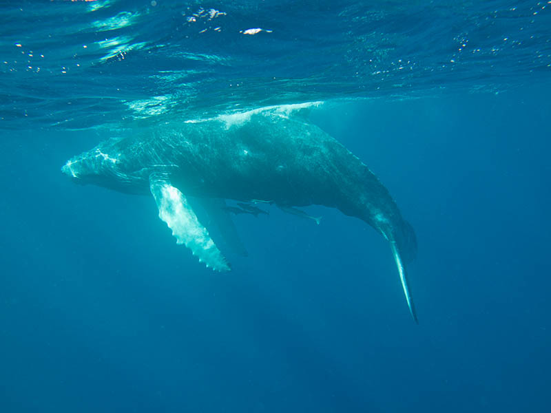 Whale-calf-wants-to-play-in-Tonga-2