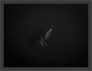 Rescuing Innateness_ Julie Stephenson Whale Swimming Tonga