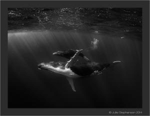 Silent flight_Julie Stephenson Tonga Whales
