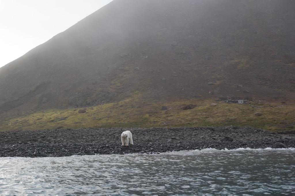 Polar Bear Julie Stephenson Greenland landscape-4