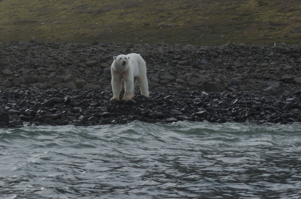 Polar Bear Julie Stephenson Greenland landscape-6